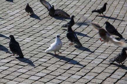 pigeon-city-street-gray-walking-cobblestones-45214088